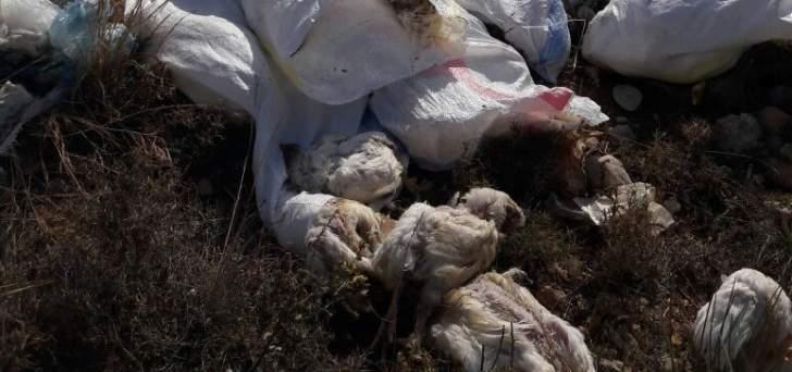 العثور على كميات من الدجاج النافق على طريق عيون السمك